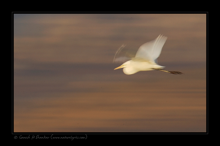 Egret in flight | Fine Art | Creative & Artistic Nature Photography | Copyright © 1993-2017 Ganesh H. Shankar