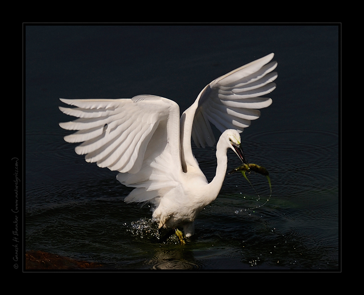 Fishing Egret | Fine Art | Creative & Artistic Nature Photography | Copyright © 1993-2016 Ganesh H. Shankar