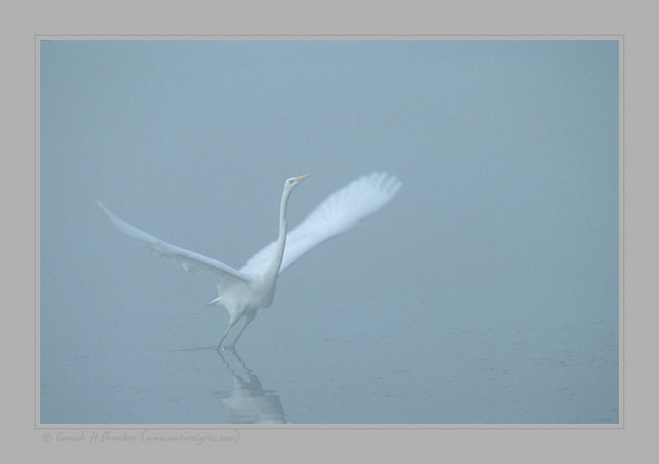 Egert in Fog, Bharatpur Bird Sanctuary | Fine Art | Creative & Artistic Nature Photography | Copyright © 1993-2017 Ganesh H. Shankar