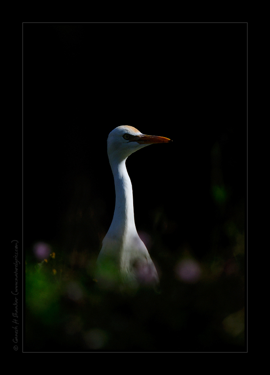 Egret - Perspective | Fine Art | Creative & Artistic Nature Photography | Copyright © 1993-2016 Ganesh H. Shankar