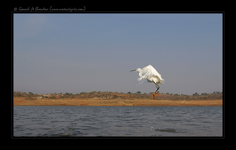 Egret in Nature - Wider Perspective | Fine Art | Creative & Artistic Nature Photography | Copyright © 1993-2017 Ganesh H. Shankar