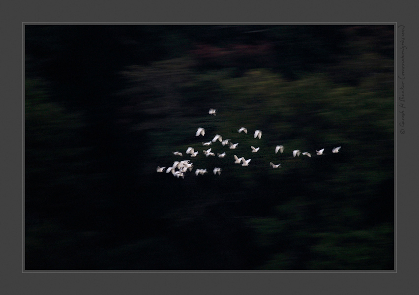 Egrets and Forest, Western Ghats, India | Fine Art | Creative & Artistic Nature Photography | Copyright © 1993-2017 Ganesh H. Shankar