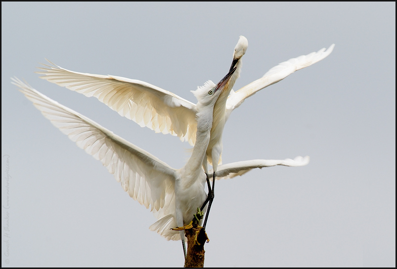 Egret Feeding  | Fine Art | Creative & Artistic Nature Photography | Copyright © 1993-2017 Ganesh H. Shankar