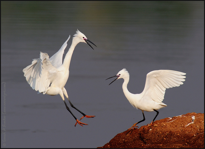 Egrets - Territorial Fight  | Fine Art | Creative & Artistic Nature Photography | Copyright © 1993-2017 Ganesh H. Shankar