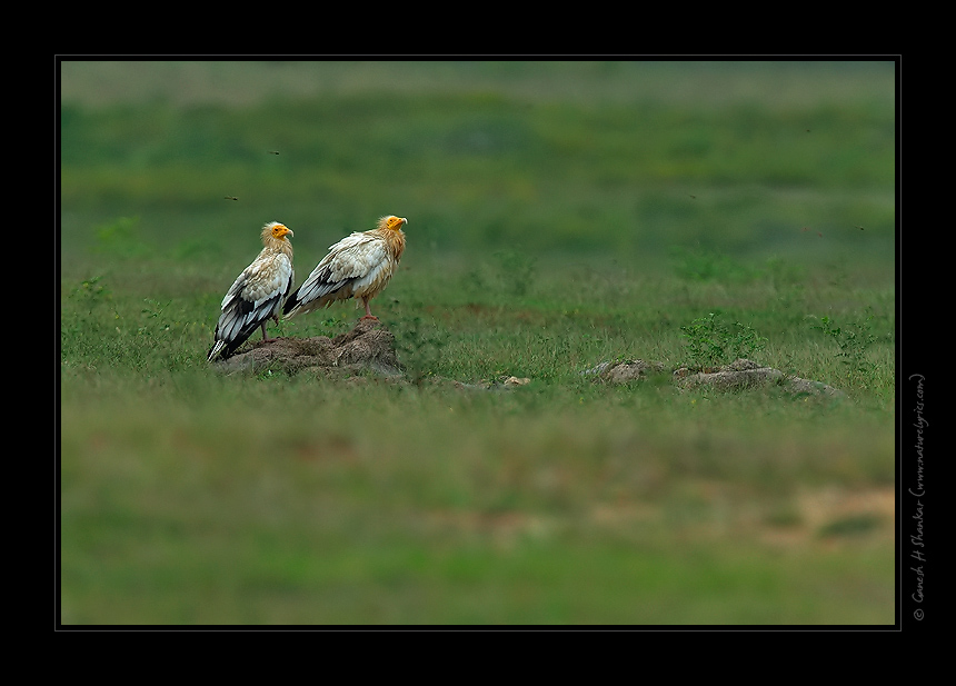 Egyptian Vultures | Fine Art | Creative & Artistic Nature Photography | Copyright © 1993-2017 Ganesh H. Shankar
