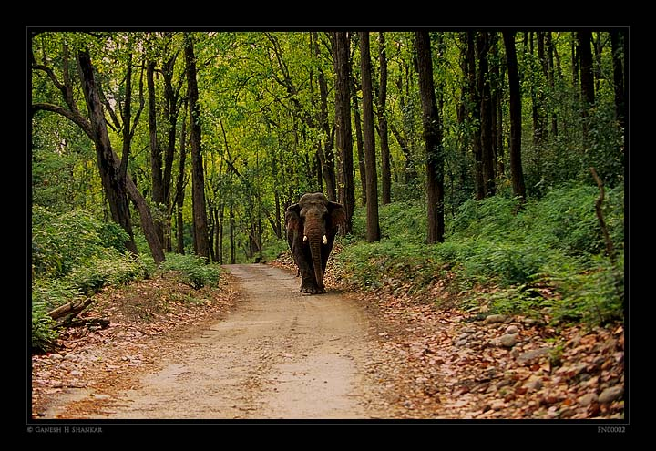 Elephants and Forest | Fine Art | Creative & Artistic Nature Photography | Copyright © 1993-2017 Ganesh H. Shankar