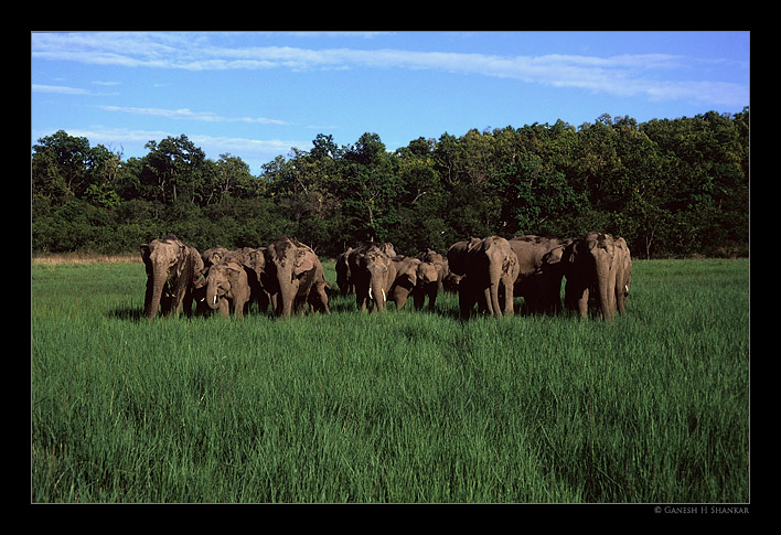 Asiatic Elephants group, Corbet NP | Fine Art | Creative & Artistic Nature Photography | Copyright © 1993-2017 Ganesh H. Shankar