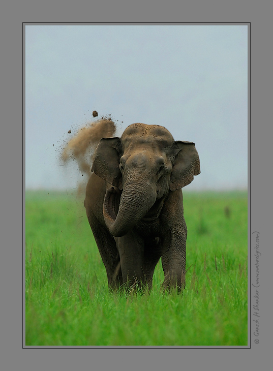 Mudbath - Asiatic Elephants | Fine Art | Creative & Artistic Nature Photography | Copyright © 1993-2017 Ganesh H. Shankar