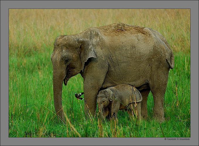 Indian Elephant and Cub | Fine Art | Creative & Artistic Nature Photography | Copyright © 1993-2017 Ganesh H. Shankar