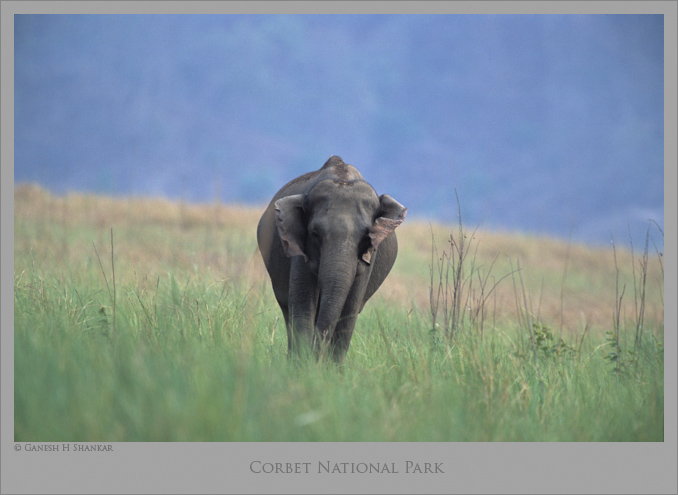 Indian Elephant at Corbet National Park | Fine Art | Creative & Artistic Nature Photography | Copyright © 1993-2017 Ganesh H. Shankar