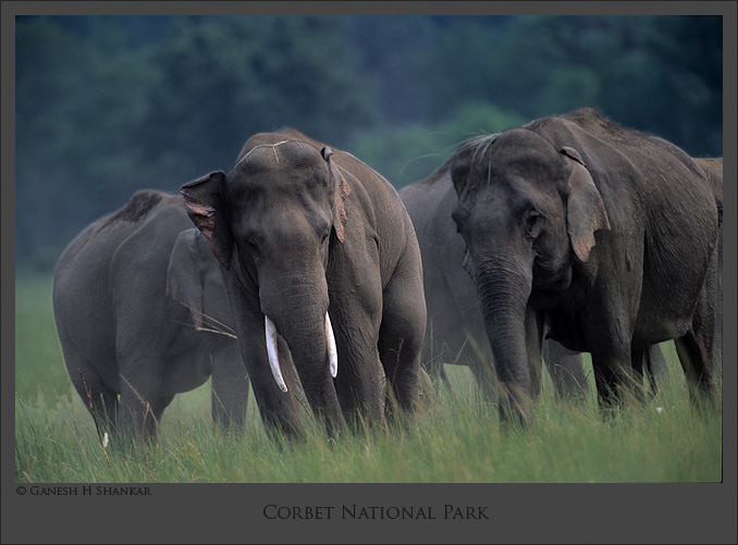 Indian Elephants | Elephas Maximus | Fine Art | Creative & Artistic Nature Photography | Copyright © 1993-2017 Ganesh H. Shankar
