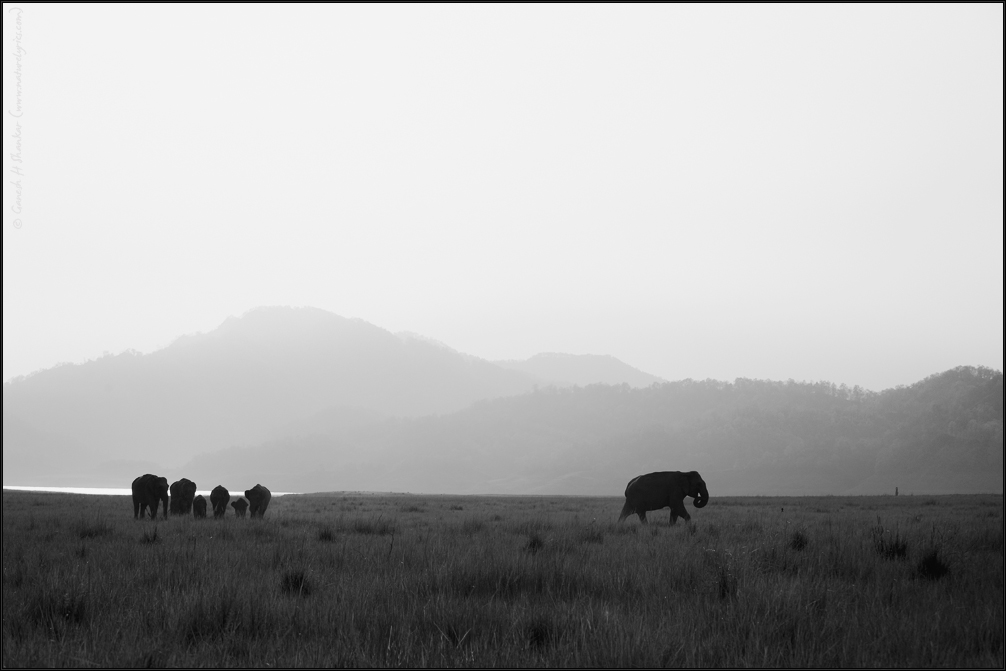 Elephants in grassland | Fine Art | Creative & Artistic Nature Photography | Copyright © 1993-2017 Ganesh H. Shankar