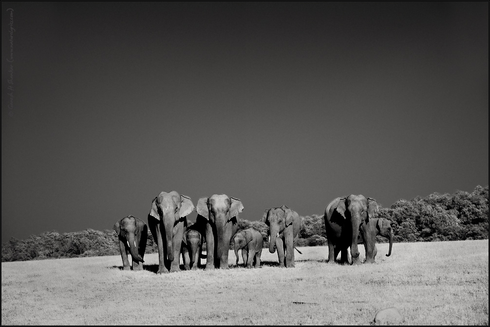 Elephants group at Corbet National Park, India | Fine Art | Creative & Artistic Nature Photography | Copyright © 1993-2017 Ganesh H. Shankar