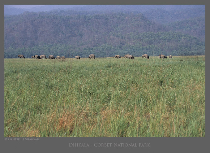 Indian Elephants in grasslands of Corbet NP  | Fine Art | Creative & Artistic Nature Photography | Copyright © 1993-2017 Ganesh H. Shankar