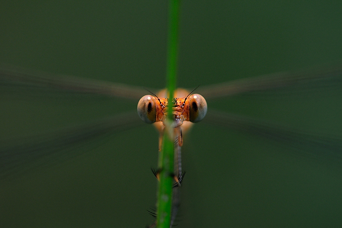 Eyes of Damselfly | Fine Art | Creative & Artistic Nature Photography | Copyright © 1993-2017 Ganesh H. Shankar