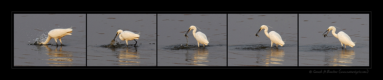 Egret Fishing Sequence | Fine Art | Creative & Artistic Nature Photography | Copyright © 1993-2017 Ganesh H. Shankar