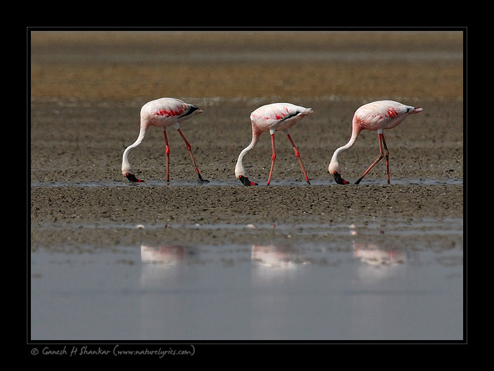 Lesser Flemingo, Little Runn of Kutch | Fine Art | Creative & Artistic Nature Photography | Copyright © 1993-2017 Ganesh H. Shankar