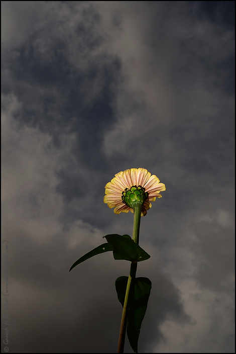 Flower and Clouds | Fine Art | Creative & Artistic Nature Photography | Copyright © 1993-2017 Ganesh H. Shankar