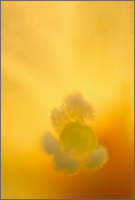 Flower Color Abstract | Fine Art | Creative & Artistic Nature Photography | Copyright © 1993-2017 Ganesh H. Shankar