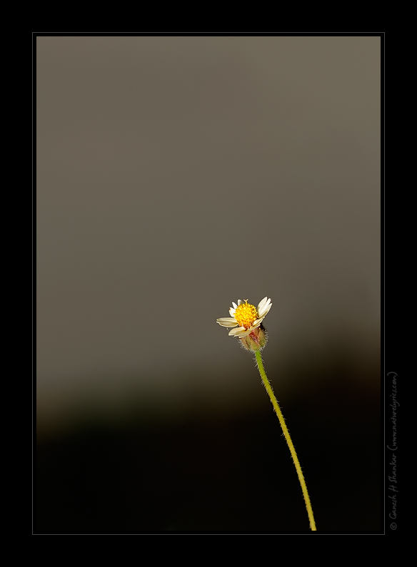 A Wild Flower | Fine Art | Creative & Artistic Nature Photography | Copyright © 1993-2016 Ganesh H. Shankar