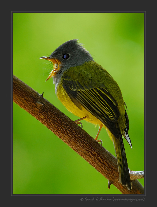 Grey Headed Canary Flycatcher, Little Runn of Kutch, India | Fine Art | Creative & Artistic Nature Photography | Copyright © 1993-2017 Ganesh H. Shankar