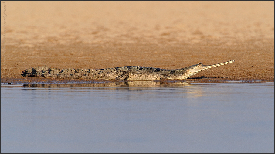 Gharial at Chambal National Park | Fine Art | Creative & Artistic Nature Photography | Copyright © 1993-2017 Ganesh H. Shankar