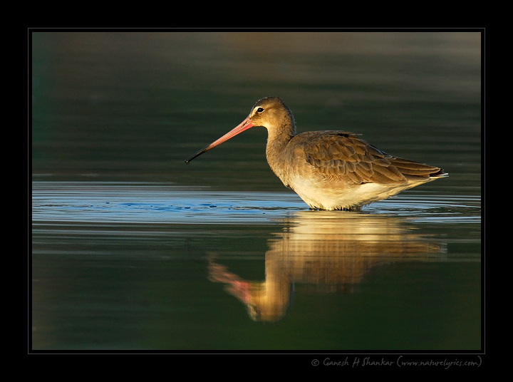 Godwit, Little Runn of Kutch, India | Fine Art | Creative & Artistic Nature Photography | Copyright © 1993-2017 Ganesh H. Shankar