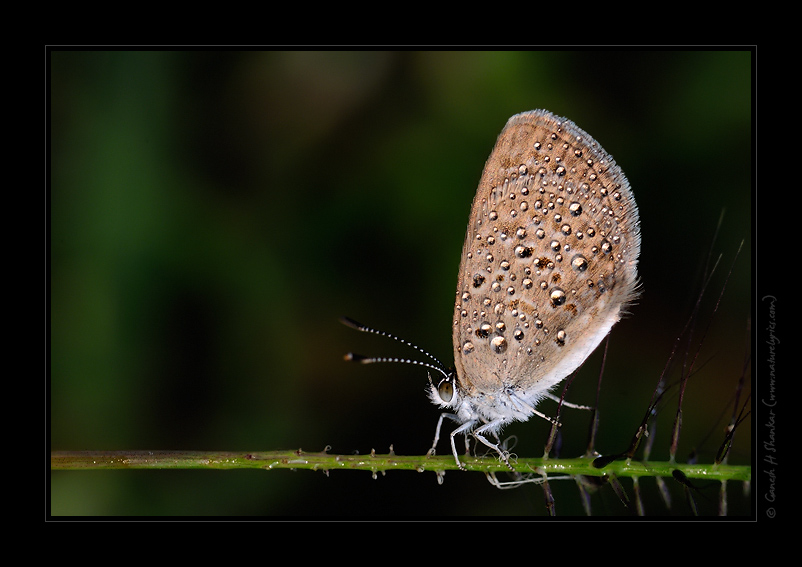 Butterfly - Grass Blue. | Fine Art | Creative & Artistic Nature Photography | Copyright © 1993-2017 Ganesh H. Shankar