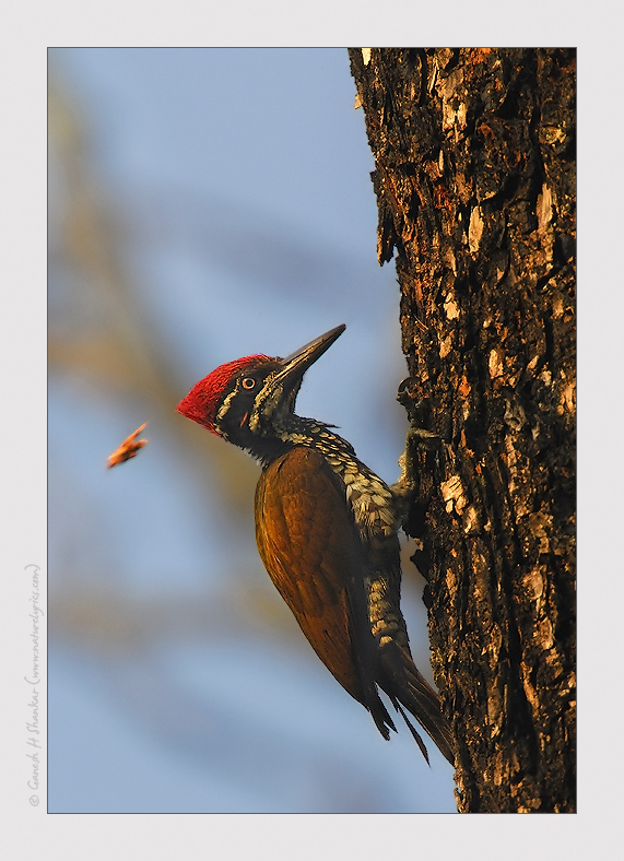 WoodPecker - Greater Flameback, Western Ghats | Fine Art | Creative & Artistic Nature Photography | Copyright © 1993-2017 Ganesh H. Shankar