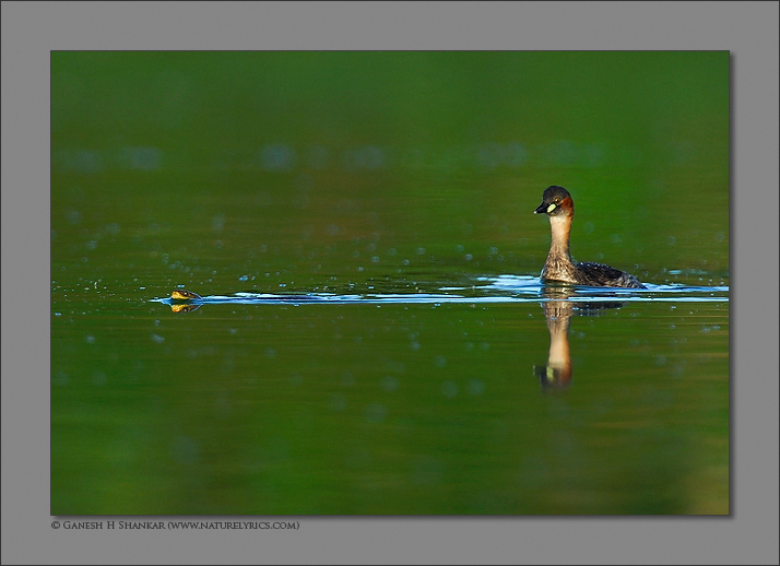 Little Grebe and Snake | Fine Art | Creative & Artistic Nature Photography | Copyright © 1993-2017 Ganesh H. Shankar