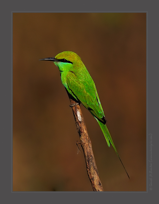 Green Bee Eater, Western Ghats, India. | Fine Art | Creative & Artistic Nature Photography | Copyright © 1993-2017 Ganesh H. Shankar