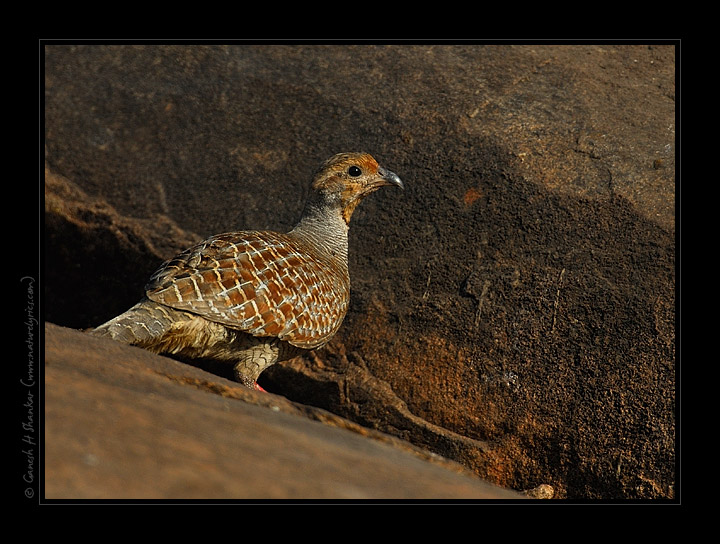 Grey Francolin, Daroji Sloth Bear Sanctuary | Fine Art | Creative & Artistic Nature Photography | Copyright © 1993-2017 Ganesh H. Shankar