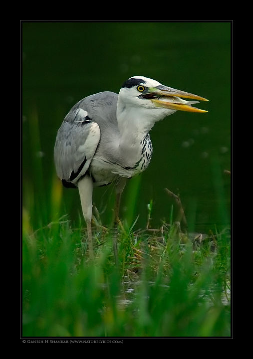 Grey Heron with Fish | Fine Art | Creative & Artistic Nature Photography | Copyright © 1993-2017 Ganesh H. Shankar
