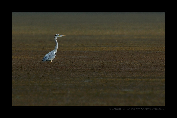 Grey Heron | Fine Art | Creative & Artistic Nature Photography | Copyright © 1993-2017 Ganesh H. Shankar