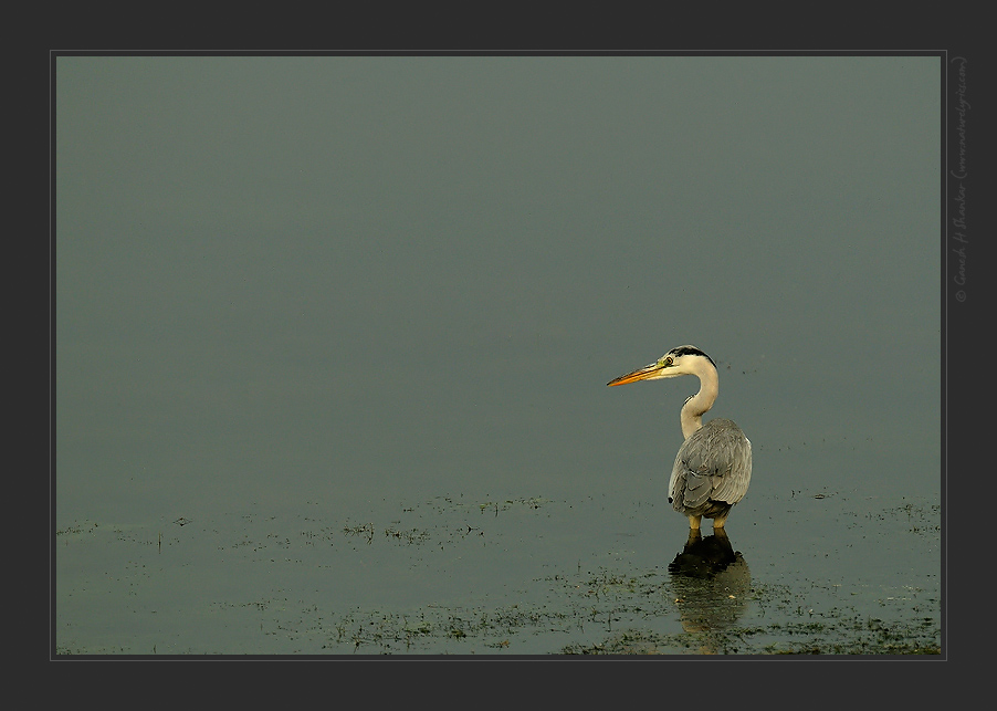 Grey Heron. | Fine Art | Creative & Artistic Nature Photography | Copyright © 1993-2016 Ganesh H. Shankar