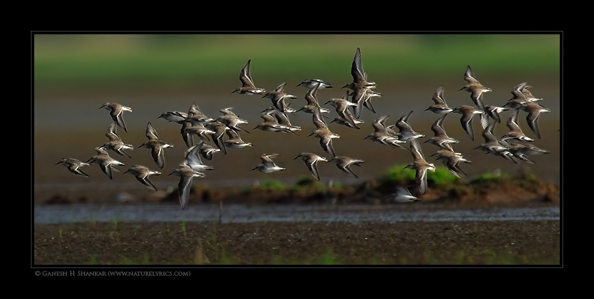 Stints in Flight | Fine Art | Creative & Artistic Nature Photography | Copyright © 1993-2017 Ganesh H. Shankar