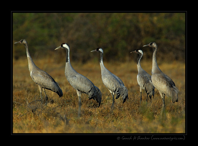 Common Cranes | Fine Art | Creative & Artistic Nature Photography | Copyright © 1993-2017 Ganesh H. Shankar