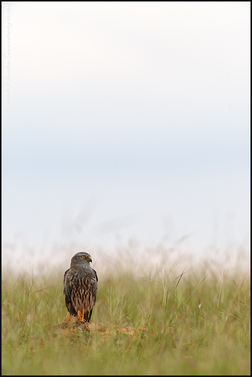 Montagu's Harrier in Grassland | Fine Art | Creative & Artistic Nature Photography | Copyright © 1993-2016 Ganesh H. Shankar