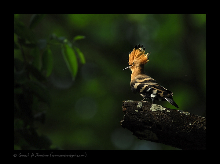 Hoopoe | Fine Art | Creative & Artistic Nature Photography | Copyright © 1993-2017 Ganesh H. Shankar