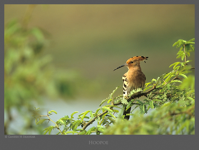 Hoopoe | Fine Art | Creative & Artistic Nature Photography | Copyright © 1993-2016 Ganesh H. Shankar