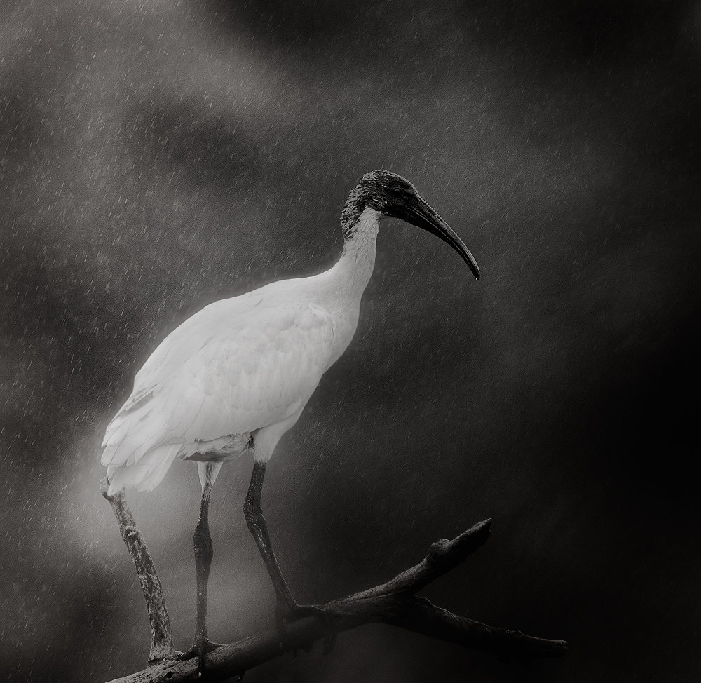 Ibis in Rain | Fine Art | Creative & Artistic Nature Photography | Copyright © 1993-2017 Ganesh H. Shankar