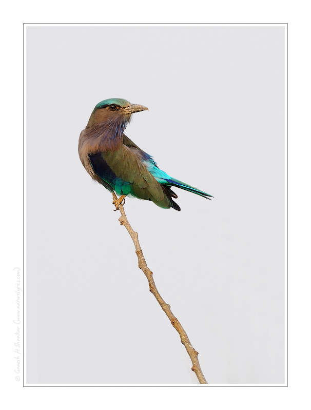 Indian Roller, Kaziranga National Park. | Fine Art | Creative & Artistic Nature Photography | Copyright © 1993-2017 Ganesh H. Shankar