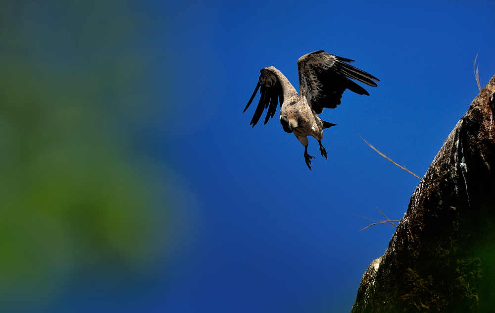 Indian Vulture Take Off  | Fine Art | Creative & Artistic Nature Photography | Copyright © 1993-2016 Ganesh H. Shankar