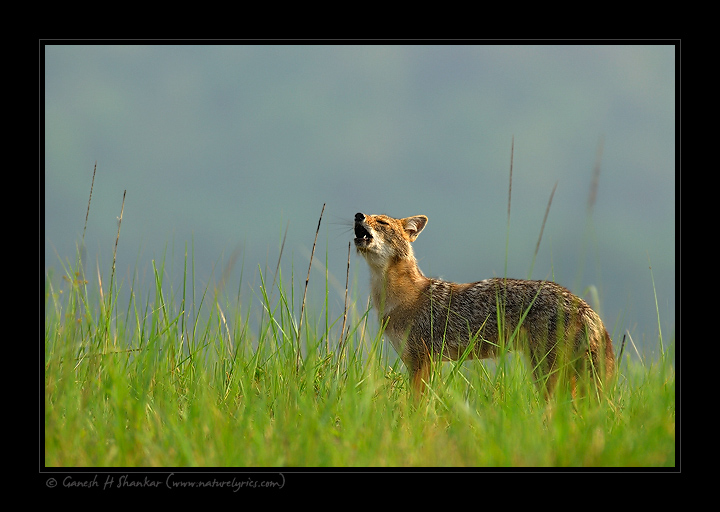 Jackal Howling - Corbet National Park | Nature Image | Nature Photography | Photo | Nature Pictures