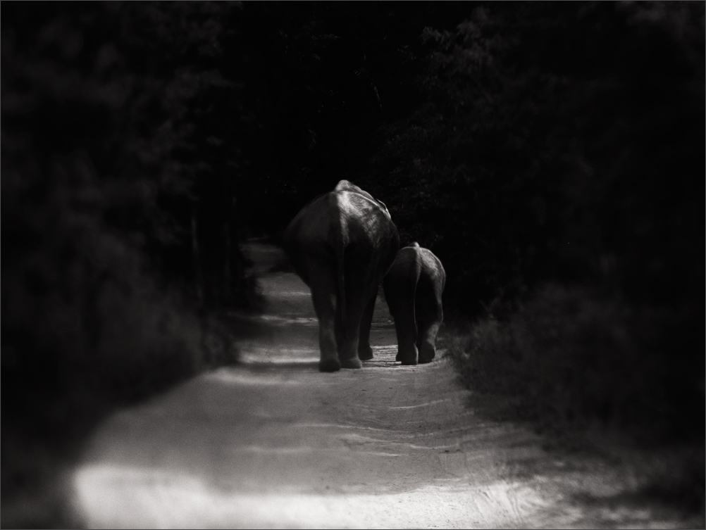 Journey - Elephants  | Fine Art | Creative & Artistic Nature Photography | Copyright © 1993-2017 Ganesh H. Shankar