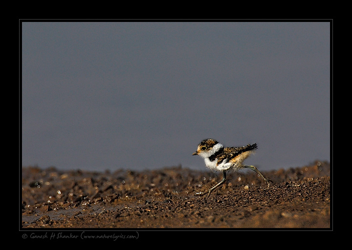 Little Ringed Plover, Juvenile | Fine Art | Creative & Artistic Nature Photography | Copyright © 1993-2017 Ganesh H. Shankar