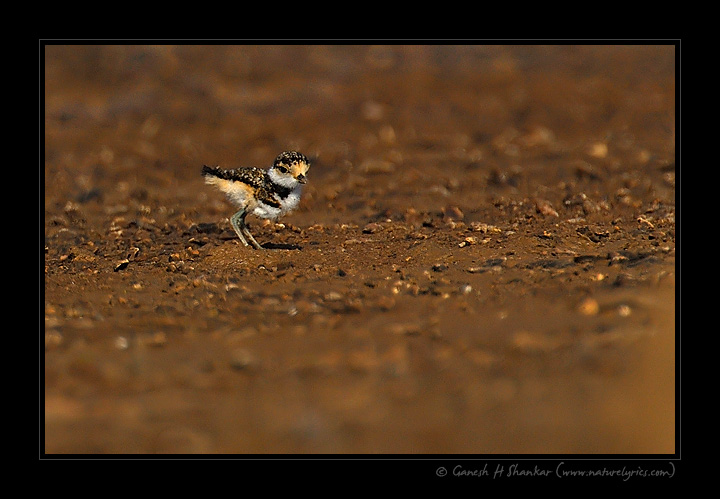 Little Rined Plover, Juvenile | Fine Art | Creative & Artistic Nature Photography | Copyright © 1993-2017 Ganesh H. Shankar
