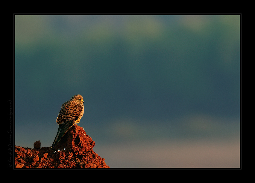 Common Kestrel in morning light, TG Halli. | Fine Art | Creative & Artistic Nature Photography | Copyright © 1993-2017 Ganesh H. Shankar