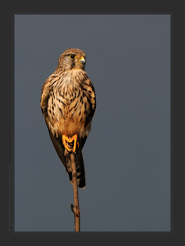 Portrait of a Common Kestrel, TG Halli | Fine Art | Creative & Artistic Nature Photography | Copyright © 1993-2016 Ganesh H. Shankar