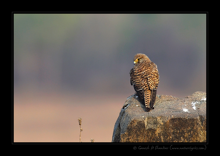 Common Kestrel | Fine Art | Creative & Artistic Nature Photography | Copyright © 1993-2016 Ganesh H. Shankar